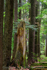 Old Growth Forest Relic