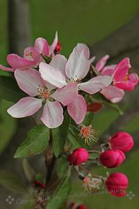 Flowering Cherry ~ This cherry tree was in the Japanese Garden at Descanso Gardens in La Canada-Flintridge, California.