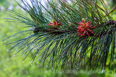 Pines in the Rain