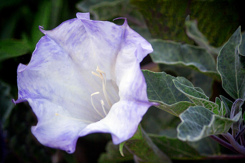 Jimson Weed in Bloom