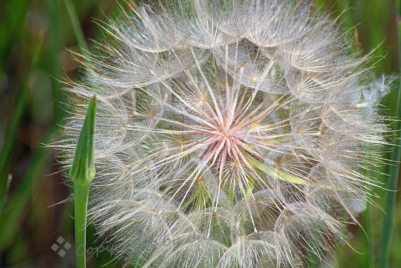 Puff Ball ~ This seed head and bud of the Yellow Salsify was photographed at Cherry Creek State Park in Colorado. I loved the pattern and shine in the seeds of this puff ball, which was several inches across.