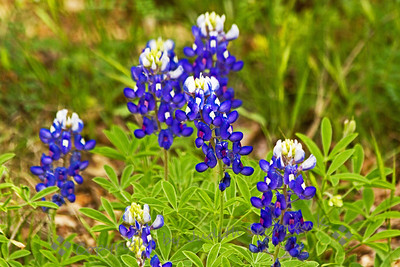 Texas Bluebonnets ~ Springtime in Texas means fields of beautiful bluebonnets.