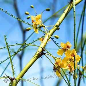 Palo Verde in Bloom - Judith Sparhawk