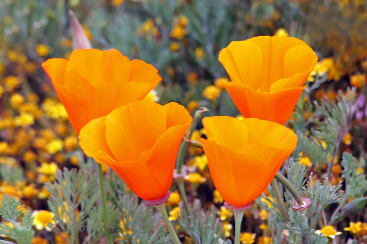 Poppies Four ~ The California Poppies were lovely among the Goldfields and other wildflowers.  This type of poppy tends to have smaller blooms and grow low to the ground.  Close-ups like this require hands-and-knees shooting.