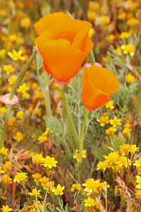 California Gold ~ It was very windy out at the poppy preserve (which is common), so shots of poppies were taken quickly whenever the wind let up for a second or two.