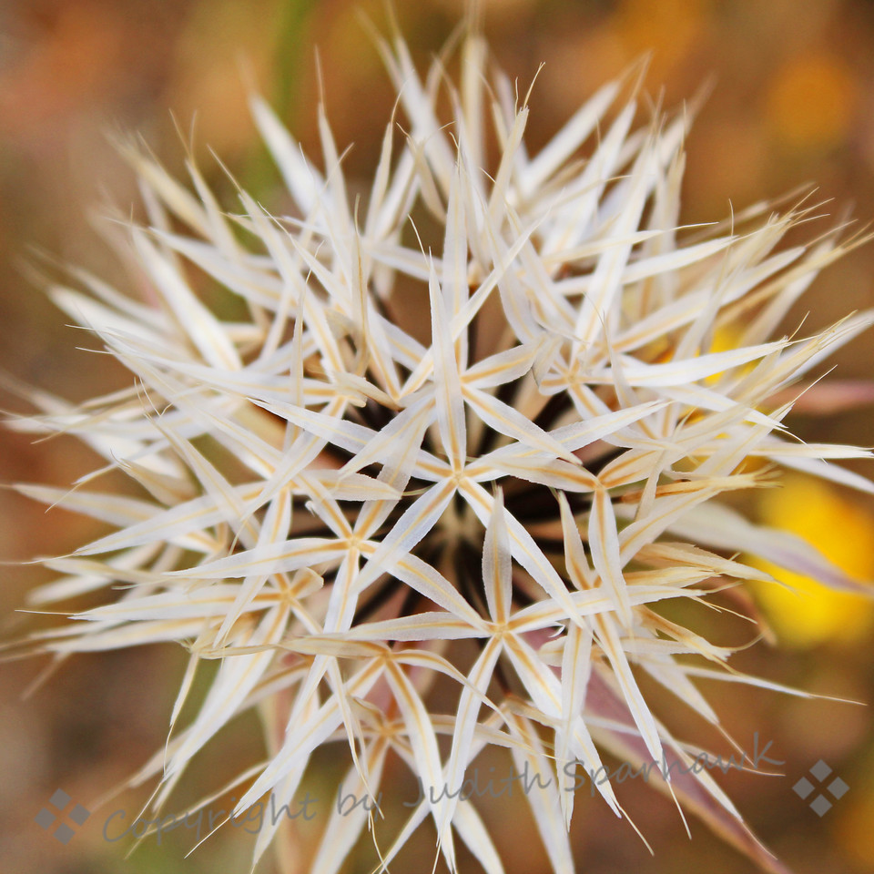 White Starburst ~ I'm not sure what this plant is, but I liked the look of these star-like clusters.  This is actually the seed cluster, which disperses the seeds similarly to a thistle seed head.  I photographed both the full cluster and a partial one.  This was out at the poppy preserve, which is considered high desert, in the Antelope Valley, California.