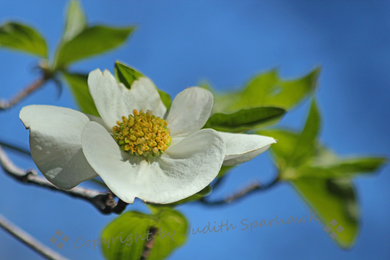 Dogwood in the Sky