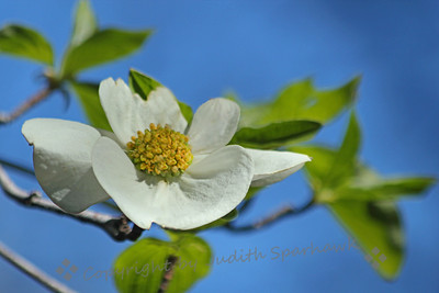 Dogwood in the Sky ~ The Pacific Dogwood trees are blooming in the mountains now, with many blossoms covering the boughs.  They are a lovely sight.