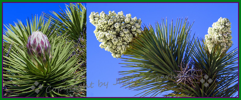 Up Close & Personal of a Joshua Tree