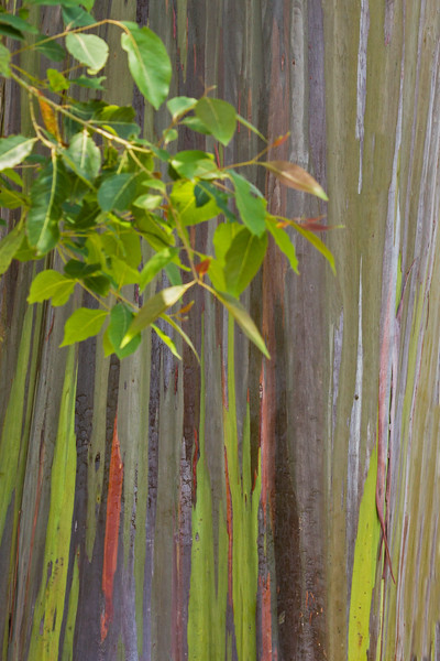 Eucalyptus Beauty
