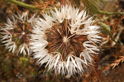 The Burst Starburst ~ This photo shows the partial seed clusters of the as yet unidentified plant.