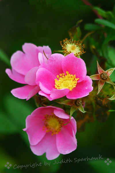 Wild Roses Three ~ My love affair with Wild Roses began as a three or four year old child, reaching up to smell their sweet spicy scent during Alaskan summers.  Today, more than 60 years later, stooping to smell wild roses, their scent takes me back to Alaska in the summer.