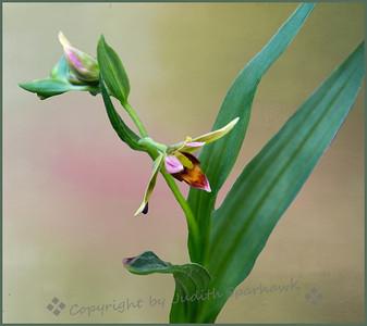 Stream Orchid - Judith Sparhawk