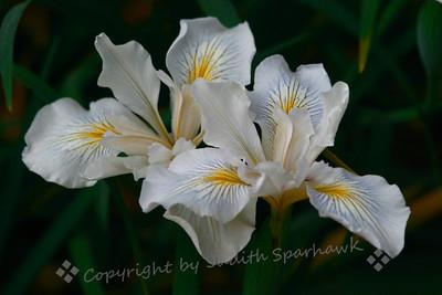 Wild White Iris