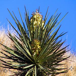 Bloomin' Yucca - Judith Sparhawk