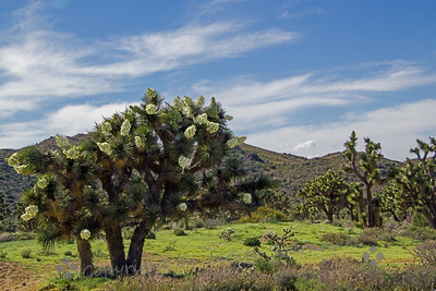 Joshua Trees Gone Crazy!