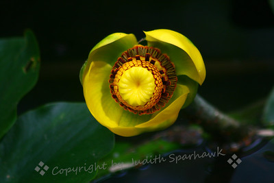Indian Pond Lily