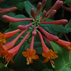 Red Honeysuckle