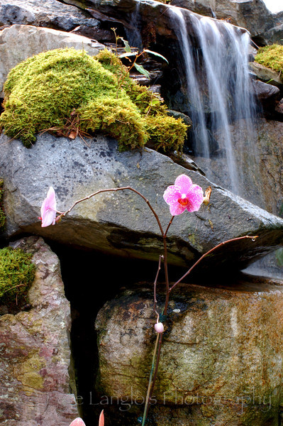 Orchid in front of waterfall.  Right behind the orchid is a butterfly.