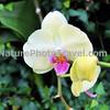Phalaenopsis Orchid - Maui Sunset
