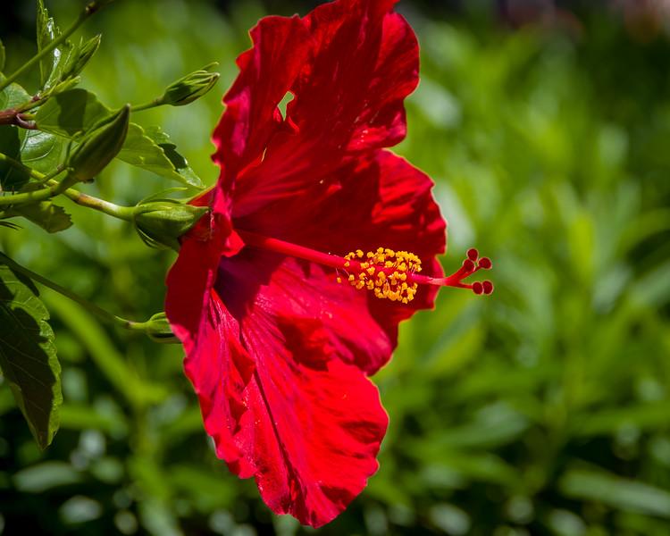 Red Strand Hibiscus