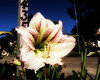Glowing Mailbox Lily