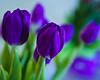 Cat's Purples