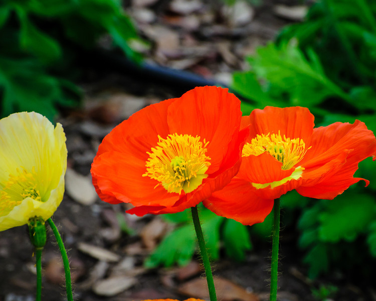 Colorful Poppies