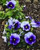 FW Purples