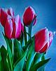Cat's Tulips