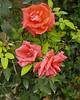 Rising Star Roses