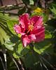 Boardwalk Hibiscus