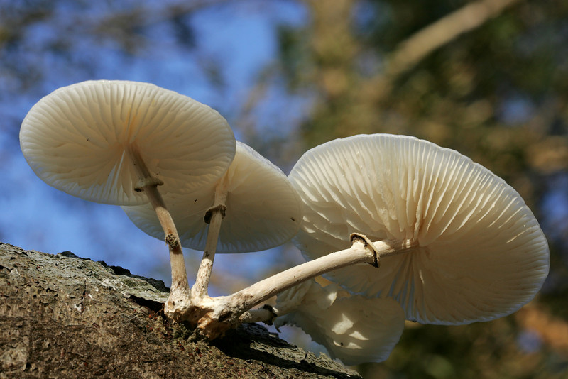Porcelain Fungus (Oudemansiella mucida) - Porseleinzwam
