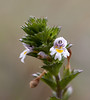 Eyebright (Euphrasia stricta) - stijve ogentroost - was and is still used to make a cure for sore eyes