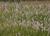 "Heath Spotted Orchid (Dactylorhiza maculata) - gevlekte orchis - ""no comment"", simply amazing wealth of orchids"