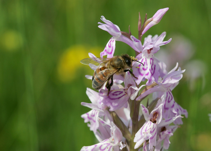 "Heath Spotted Orchid (Dactylorhiza maculata) - gevlekte orchis - with a visiting bee, its head covered with ""polinia"""