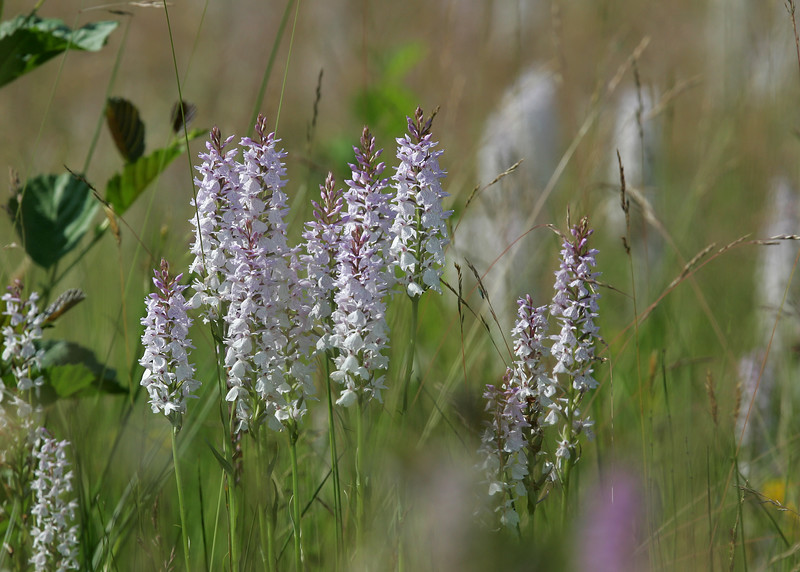 Heath Spotted Orchid (Dactylorhiza maculata) - gevlekte orchis