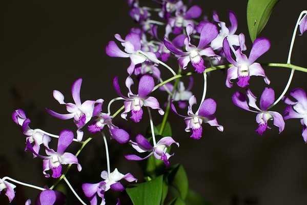 Orchids at Orchid Society Show 10-06-2012