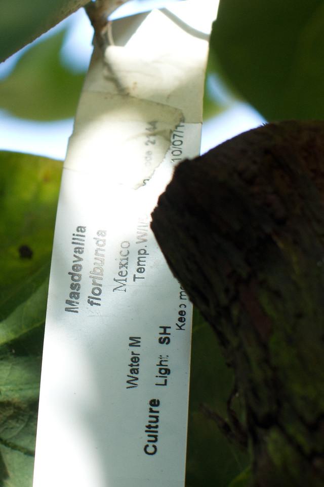 Orchids:  Masdevallia Floribunda and Bauhinia x Blakeana tree 12-09-2012