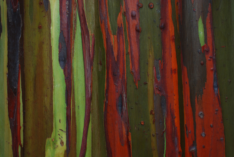 Bark of a Mindanao Gum tree (Eucalyptus deglupta). It's certainly has the most colorful bark of any tree I know.