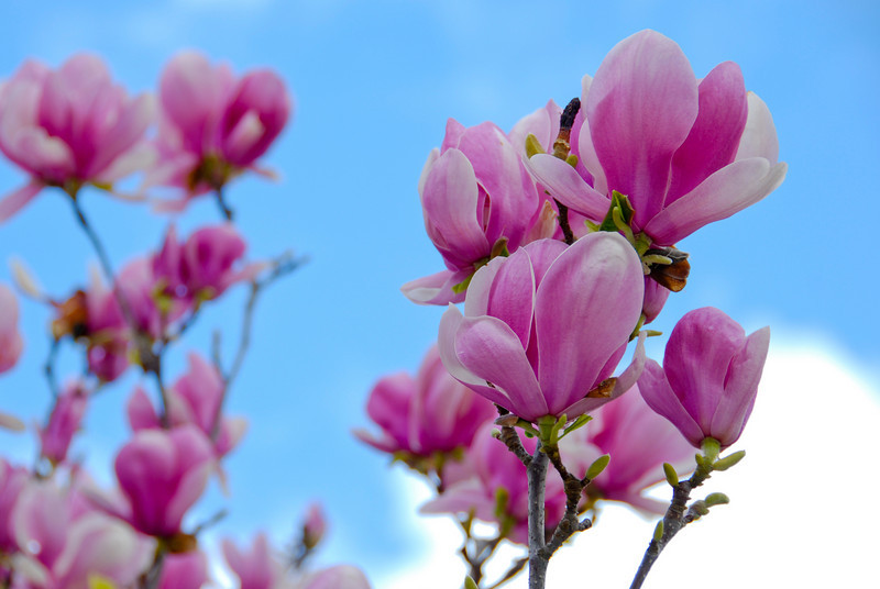 Magnolia flowers with clearing storm clouds providing the nice blue and white sky.