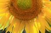 Cynthias Sunflower