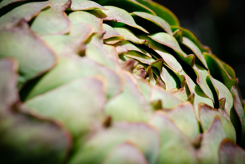 Artichoke in the Mildred E. Mathias botanical gardens @ UCLA