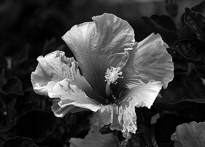 Hibiscus in Black and White...