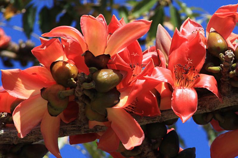 Bombax Tree in blossum