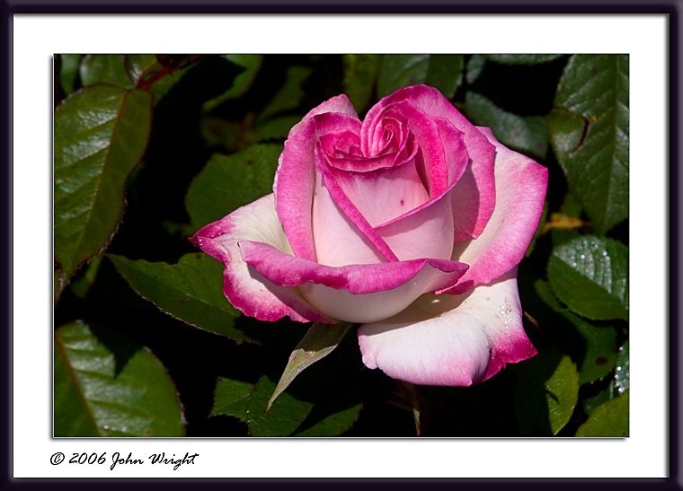 Rose with frame treatment...