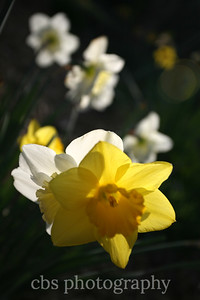 daffodils backlit