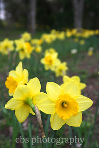 daffodil march