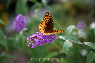 butterfly on purple flower3