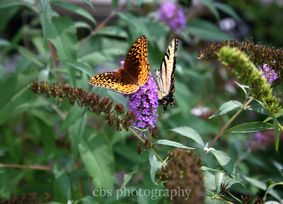 butterflies on purple flower